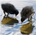 Moorhen chicks Llandrindod Lake by Fiona Luckhurst
